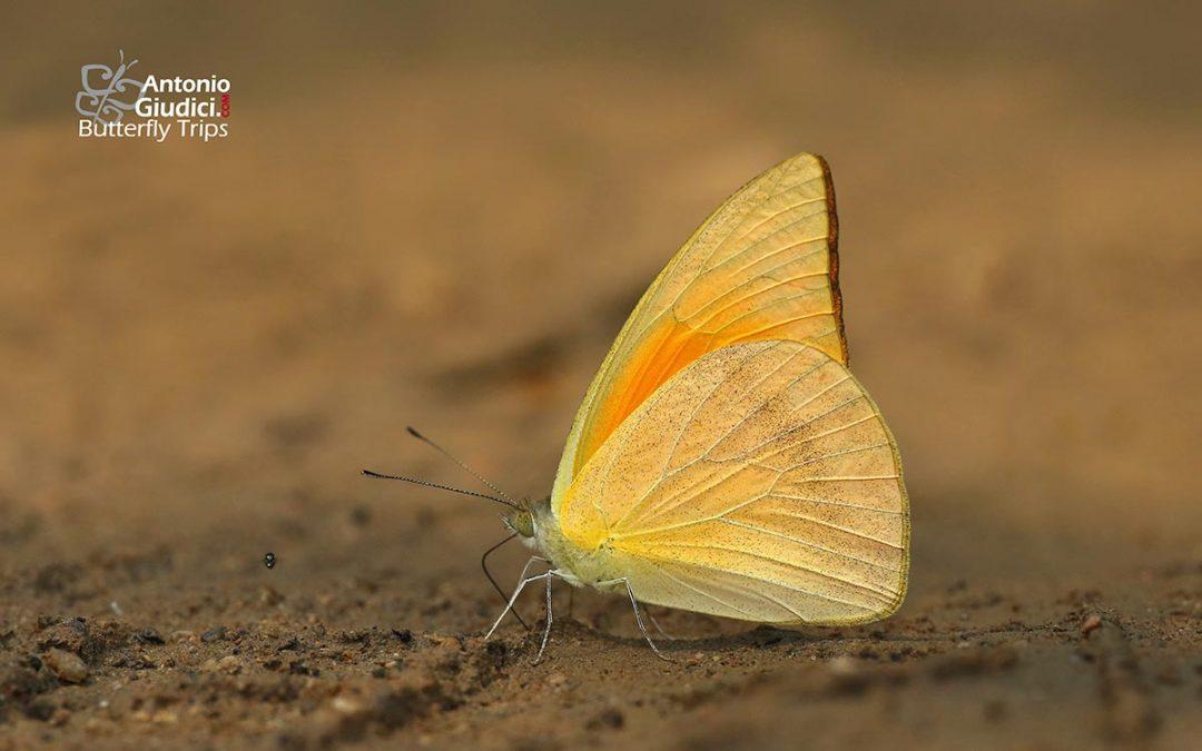 The Indian Orange Albatrossnot availableAppias galba