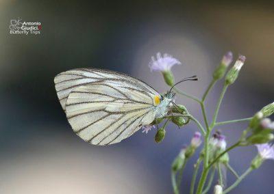 The Green-veined Whiteผีเสื้อหนอนกะหล่ำเส้นเขียวArtogeia erutae
