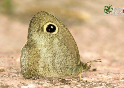 The Mottled Argusผีเสื้อพันตาลายกระCallerebia narasingha