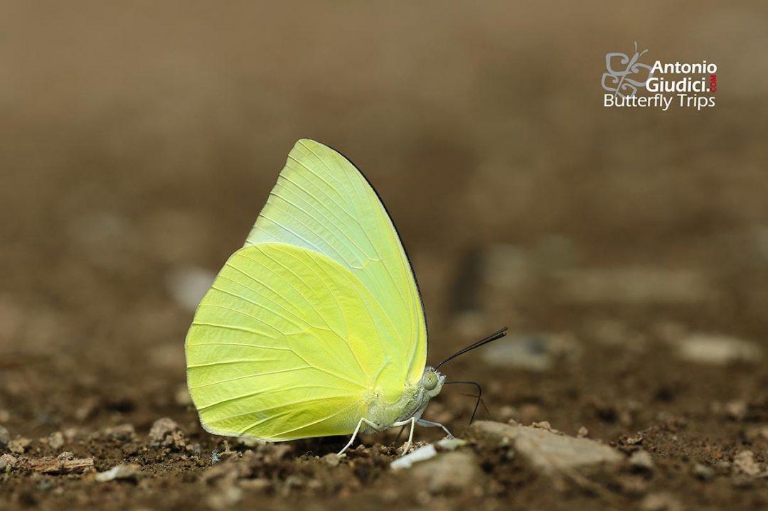 The Lemon Emigrantผีเสื้อหนอนคูนธรรมดาCatopsilia pomona