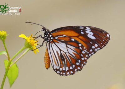 The Malay Tigerผีเสื้อลายเสือมลายูDanaus affinis