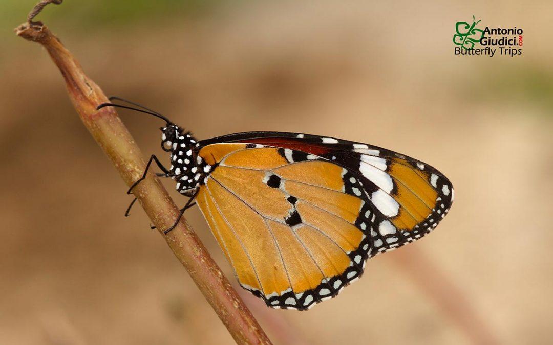 The Plain TigerหรือหนอนใบรักธรรมดาDanaus chrysippus