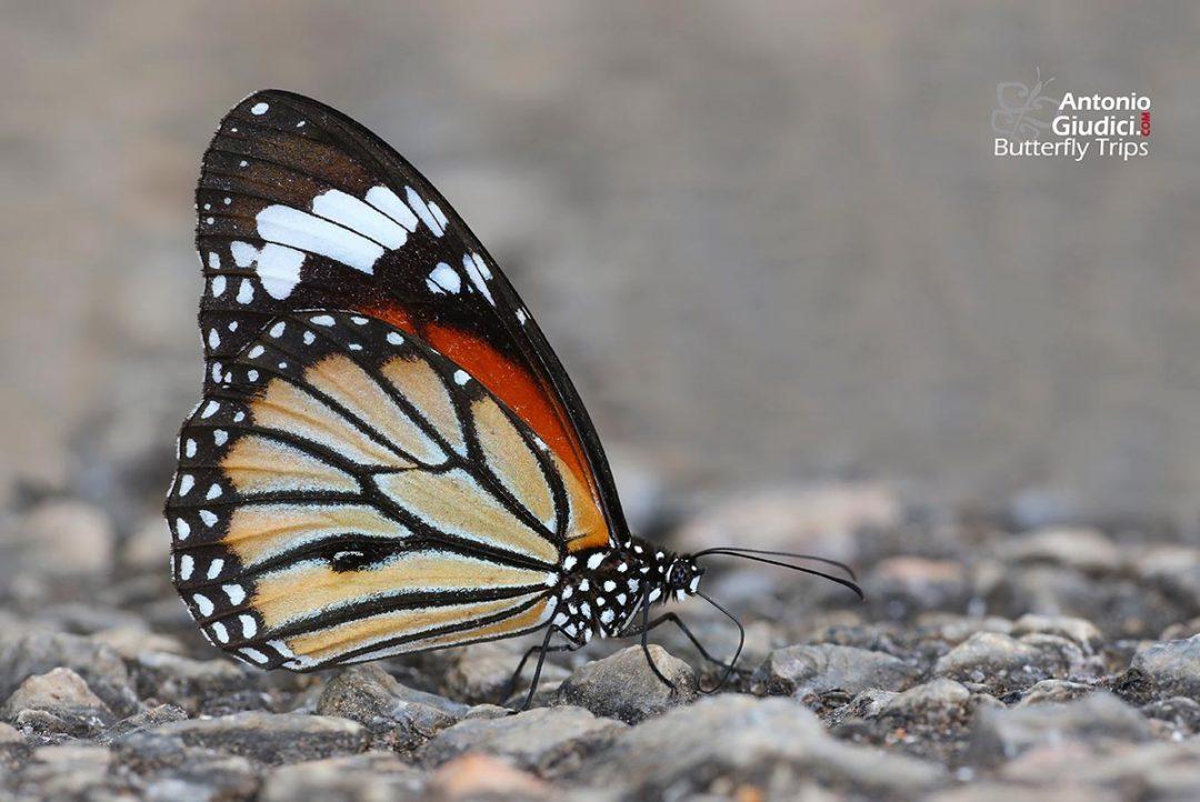 The Common Tigerผีเสื้อหนอนข้าวสารลายเสือDanaus genutia