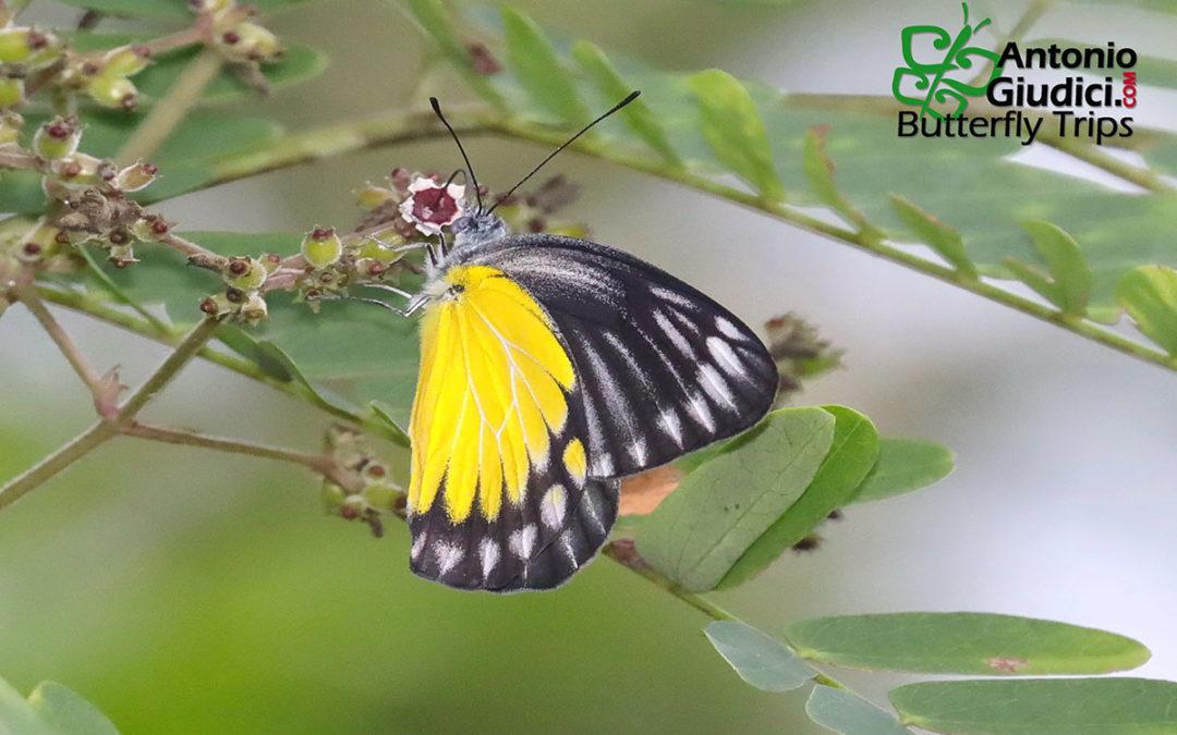 The Burmese Jezebelผีเสื้อหนอนกาฝากเหลืองพม่าDelias agoranis