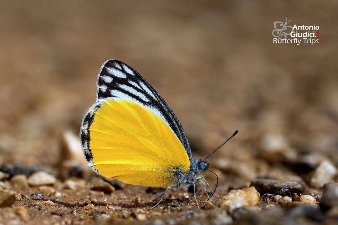The Yellow Jezebelผีเสื้อหนอนกาฝากเหลืองDelias agostina