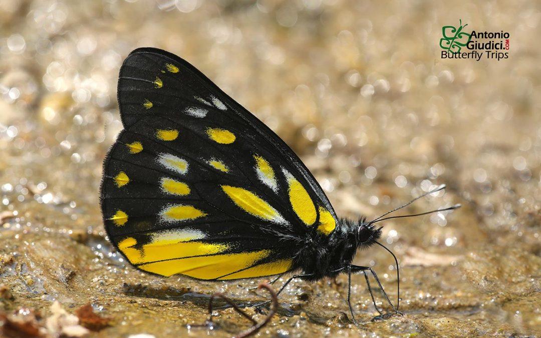 The Dark Jezebelผีเสื้อหนอนกาฝากเหลืองเข้มDelias berinda