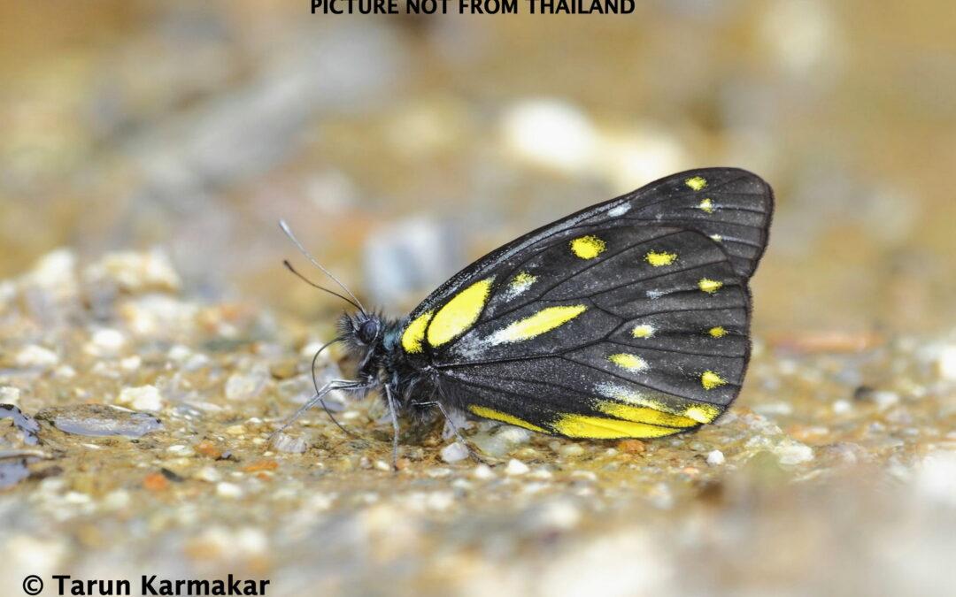 The Bhutan Jezebelผีเสื้อหนอนกาฝากเหลืองภูฐานDelias lativitta