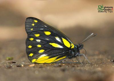 The Pale Jezebelผีเสื้อหนอนกาฝากเหลืองอ่อนDelias sanaca