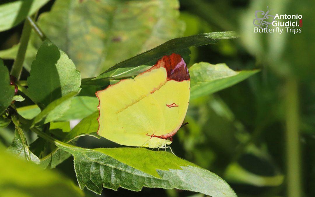 The Angled Sulfurผีเสื้อเหลืองกำมะถันปีกมุมDercas gobrias