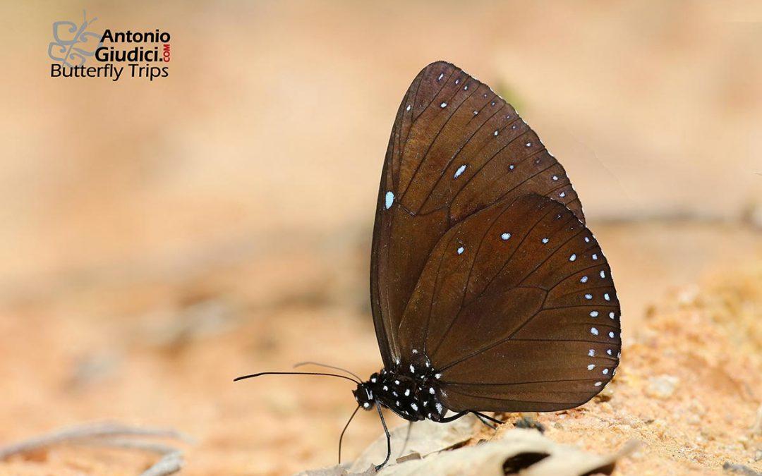 The Blue-branded Crowผีเสื้อจรกาขีดฟ้าEuploea eunice