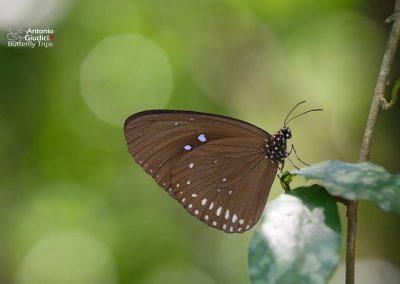 The Plain Blue Crowผีเสื้อจรกาฟ้าป่าต่ำEuploea modesta