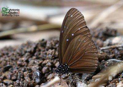 The Striped Blue Crowผีเสื้อจรกาเมียลายEuploea mulciber