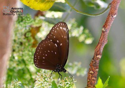 The Great Crowผีเสื้อจรกาใหญ่Euploea phaenareta