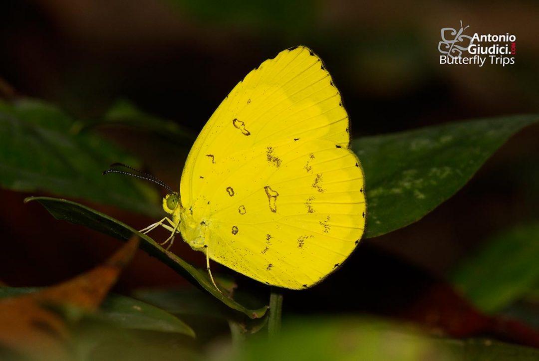 The Common Grass Yellowผีเสื้อเณรธรรมดาEurema hecabe
