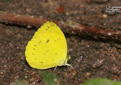 The Banded Grass Yellowผีเสื้อเณรแถบดำEurema nicevillei