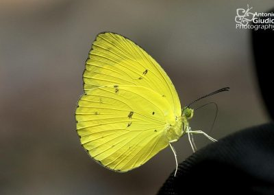 The Banded Grass Yellowผีเสื้อเณรแถบดำEurema nicevillei