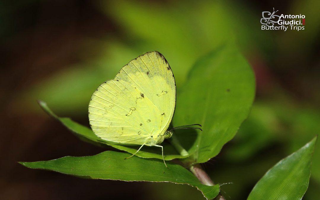 The Siamese Pale Grass Yellowผีเสื้อเณรสีจางไทยEurema novapallida