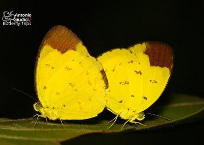 The Chocolate Grass Yellowผีเสื้อเณรส่าหรีEurema sari