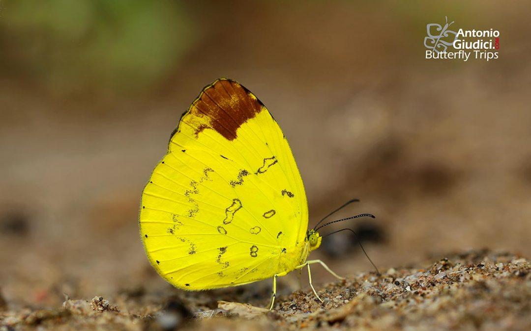 The Hill Grass Yellowผีเสื้อเณรภูเขาEurema simulatrix