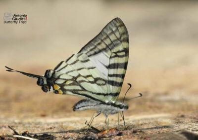 The Sixbar Swordtailผีเสื้อหางดาบสามห่วงGraphium eurous
