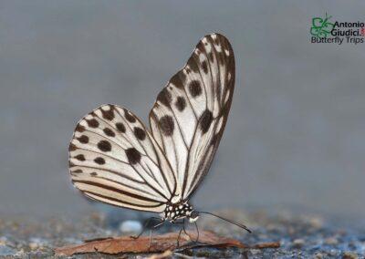The Small Wood Nymphผีเสื้อร่อนลมน้อยIdeopsis gaura