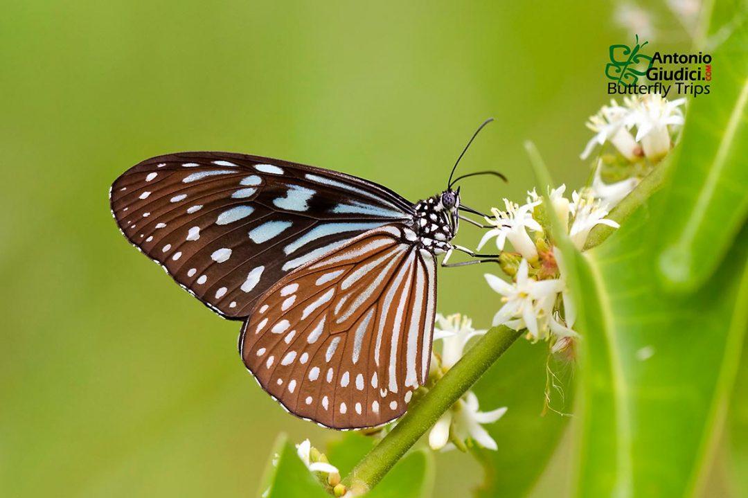 The Blue Glassy Tigerผีเสื้อลายเสือฟ้าสีจางIdeopsis similis