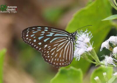 The Dark Blue Glassy Tigerผีเสื้อลายเสือฟ้าสีคล้ำIdeopsis vulgaris