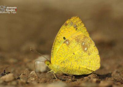 The Yellow Orange Tipผีเสื้อปลายปีกส้มเล็กIxias pyrene