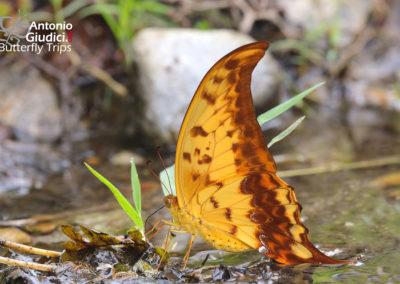 The Yellow Gorgonหางดาบปีกโค้งMeandrusa payeni