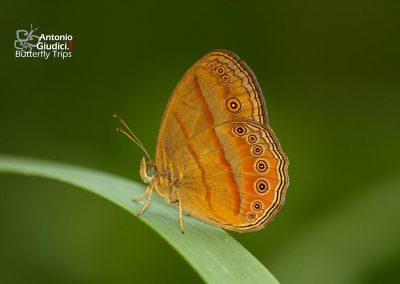The Malayan Bushbrownผีเสื้อตาลพุ่มมลายูMycalesis fusca