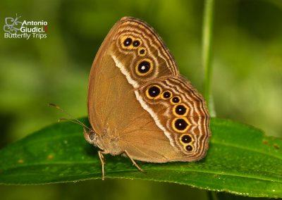 The Common Bushbrownผีเสื้อตาลพุ่มธรรมดาMycalesis perseus