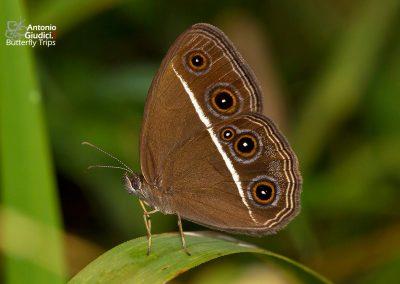 The Dark Grass-brownผีเสื้อนิโกรOrsotriaena medus