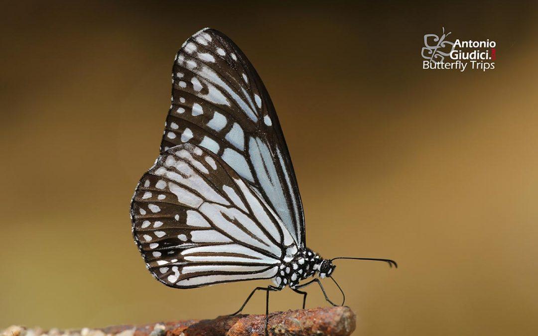 The Glassy Tigerผีเสื้อลายเสือขีดยาวParantica aglea