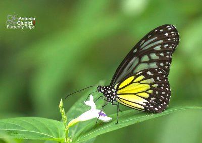 The Yellow Glassy Tigerผีเสื้อลายเสือเหลืองParantica aspasia