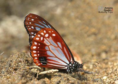 The Chestnut Tigerผีเสื้อลายเสือตาลแดงParantica sita