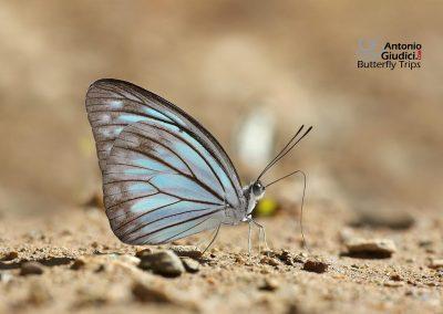 The Common Wandererผีเสื้อฟ้าเมียเลียนธรรมดาPareronia anais