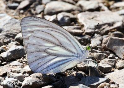 The Narrow Wandererผีเสื้อฟ้าเมียเลียนขอบแคบPareronia avatar