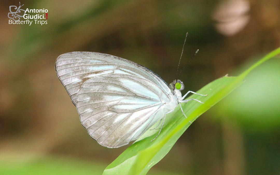 The Pale Wandererผีเสื้อฟ้าเมียเลียนสีจางPareronia paravatar