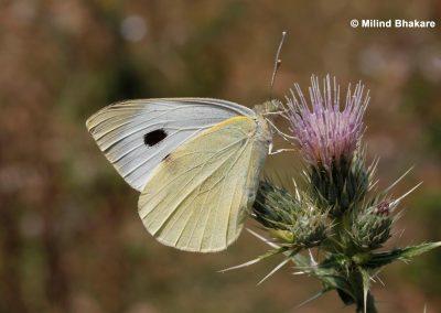 The Large Cabbage Whiteผีเสื้อหนอนกะหล่ำใหญ่Pieris brassicae
