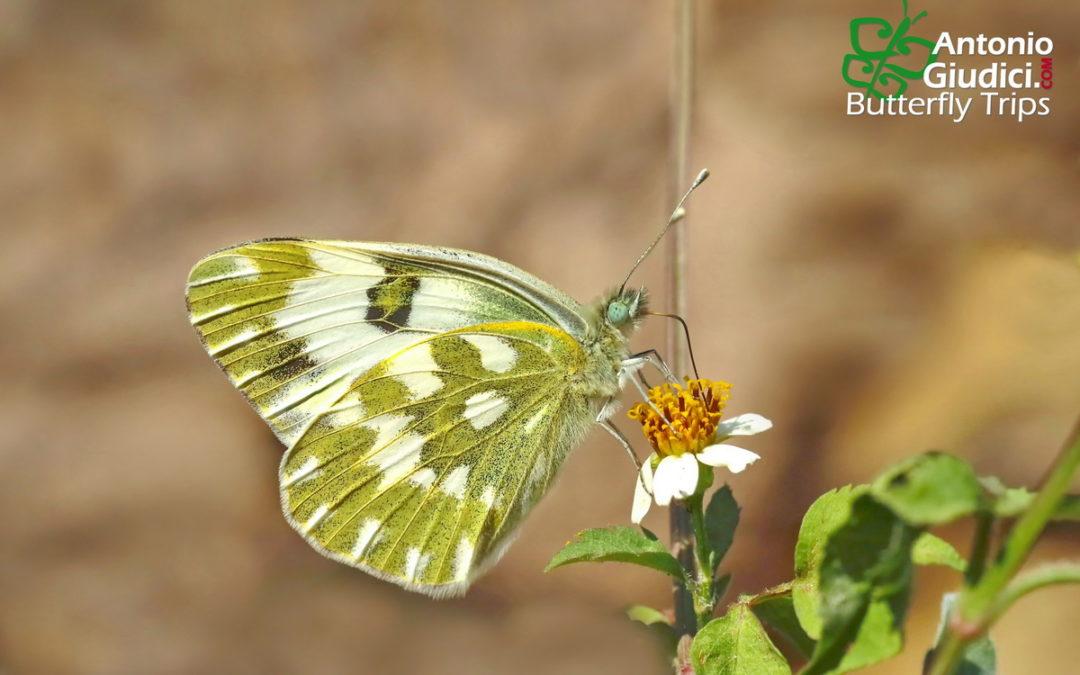 The Eastern Bath Whiteผีเสื้อหนอนกะหล่ำใยหินอ่อนPontia edusa