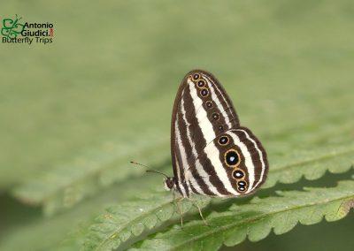 The Siamese Ringletผีเสื้อวงแหวนสยามRagadia critias