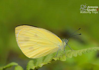 The Dark-banded Whiteผีเสื้อหนอนกะหล่ำแถบดำTalbotia naganum