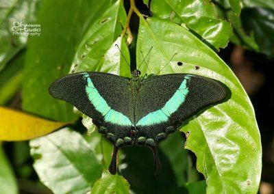 The Banded Peacockผีเสื้อหางติ่งสะพายเขียวPapilio palinurus