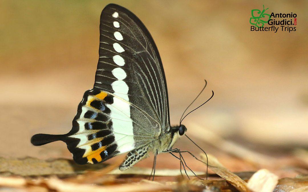 The Banded Swallowtailหางติ่งสะพายขาวPapilio demolion