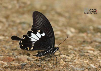 The Black and White Helenผีเสื้อหางติ่งชะอ้อนPapilio nephelus