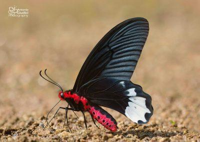 The Burmese Batwingผีเสื้อปีกค้างคาวพม่าAtrophaneura varuna zaleucus