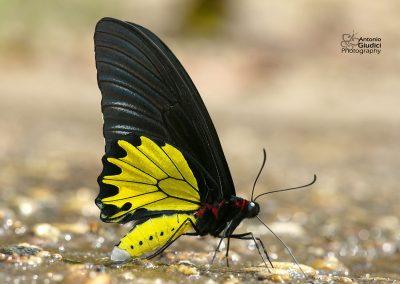 The Common Birdwing  ผีเสื้อถุงทองป่าสูง Troides helena