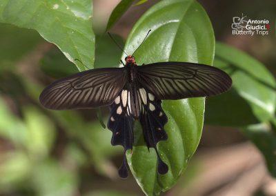 The Common Clubtailหางตุ้มหางกิ่วLosaria doubledayi
