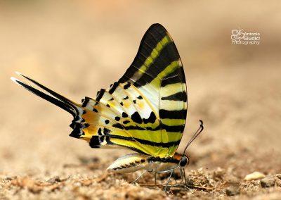 The Fivebar Swordtailผีเสื้อหางดาบใหญ่Graphium antiphates