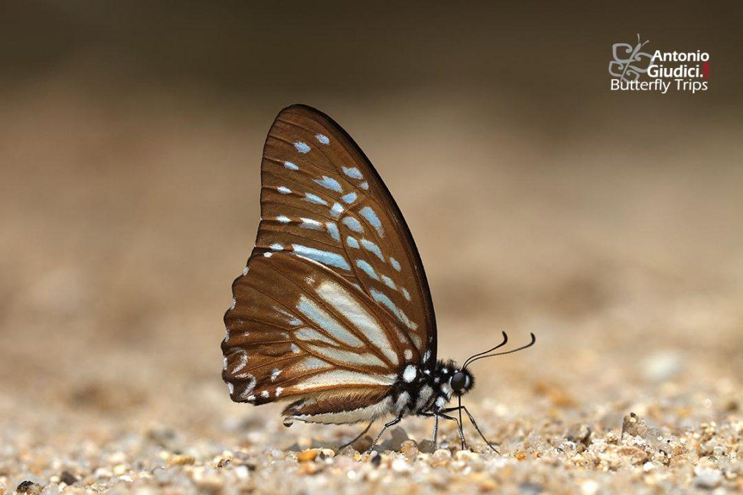 The Lesser Zebraผีเสื้อม้าลายธรรมดาGraphium macareus